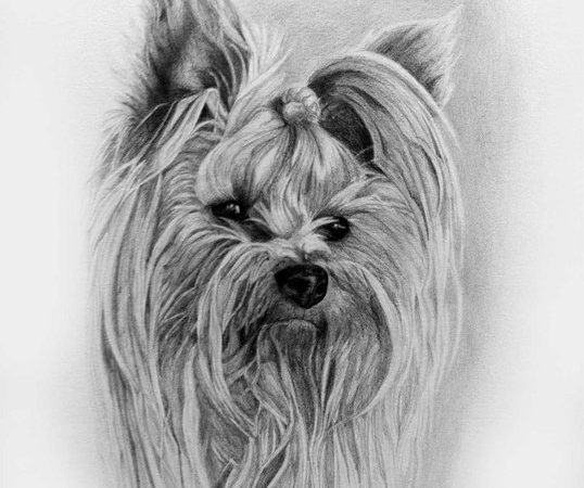 Long Haired Yorkie
